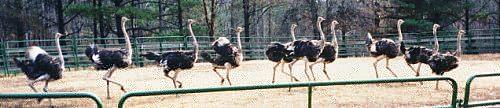 Ostrich Pen at Blue Heaven Ostrich Ranch